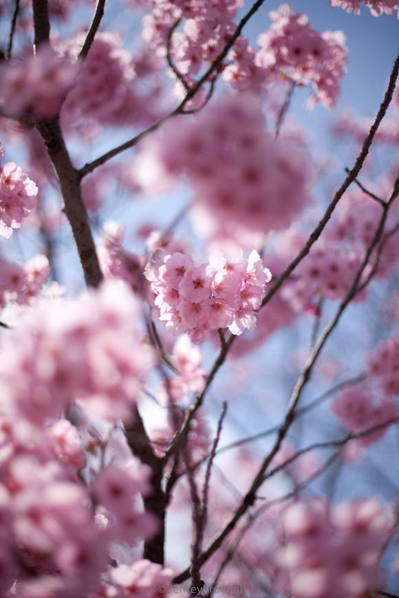 Cherry Blossom 5275